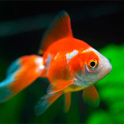 Золотая рыбка (2.5-3см)