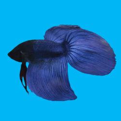 Петушок вуаль синий
