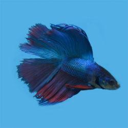 Петушок двухвостый мультиколор синий