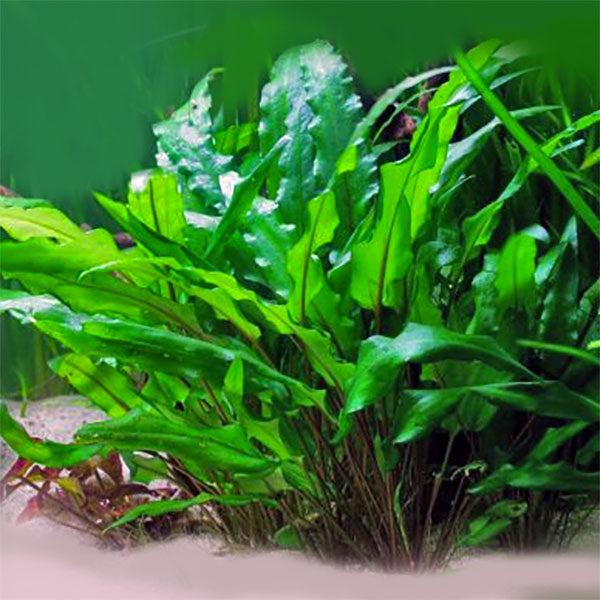 Аквариумное растение криптокорина зеленая