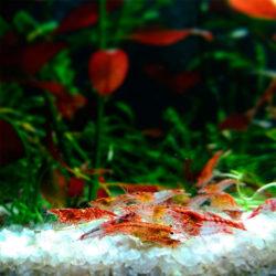 Креветка Неокаридина ассорти (Neocaridina Heteropoda)