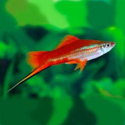 Меченосец красно-зеленый