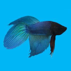 Петушок Вуаль голубой