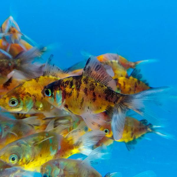 вуалехвост goldfish