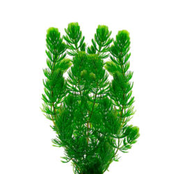 Роголистник (Ceratophyllum)
